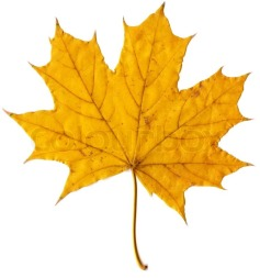 5552046-autumn-leaf-yellow-maple