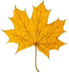 5552046-autumn-leaf-yellow-maple